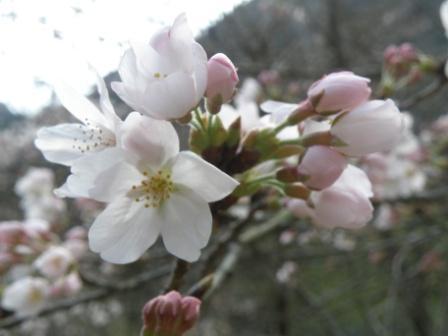sakura-024.jpg